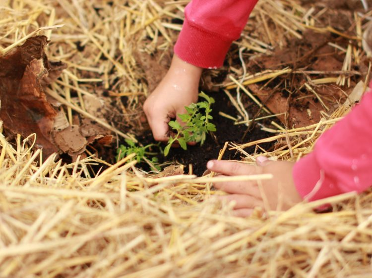 the hands of a child, planting a sapling in some earth